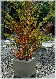 Lebkuchenbaum Stecklinge winterharte Pflanzen für den japanischen Garten Deko
