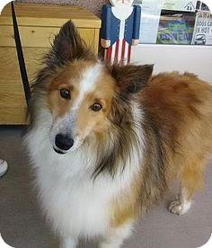 7/8/17 Las Vegas, NV - Sheltie, Shetland Sheepdog. Meet Odin, a dog for adoption. http://www.adoptapet.com/pet/18543947-las-vegas-nevada-sheltie-shetland-sheepdog