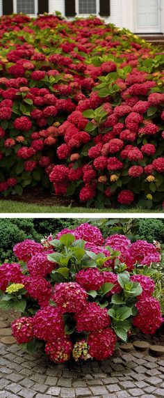Red Sensation Hydrangea ♥ these are beautiful and work perfect for covering large areas. Hortensia Hydrangea, Red Hydrangea, Hydrangea Garden, Hydrangea Varieties, Flowering Shrubs, Trees And Shrubs, Gras, Clematis, Lawn And Garden