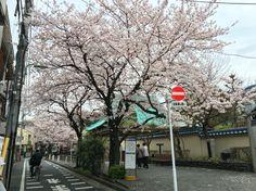 Sakura bloom, Tokyo, Tamagawa, the long raw of sakura trees along the Tamagawa(Tamagawa station, Tokyo) 秘密スポット 桜、人が少ないが、桜を独り占めできるスポット 多摩川駅の近く Цветение сакуры вдоль канала на станции Тамагава, Токио