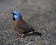 Black-throated Finch, gathering nesting materials   by fergusonjlf - Australian