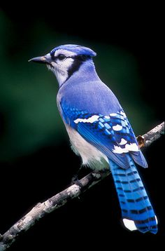 Bluejay...a showy noisy bird with a crest, larger than a robin....a year long resident, Will vary their diet by stealing other bird;s eggs, while in winter, they conceal acorns for winter.