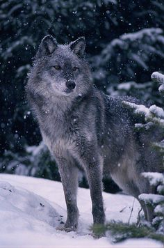 kitchin Gray Wolf, Canis by First Light T.kitchin Gray Wolf, Canis Photograph by First Light – T.kitchin Gray Wolf, Canis Fine Art Prints and Posters for Sale … Wolf Images, Wolf Photos, Wolf Pictures, Tier Wallpaper, Wolf Wallpaper, Animal Wallpaper, Beautiful Wolves, Animals Beautiful, Beautiful Dogs