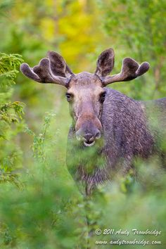 European Bull Moose, Norway. by Andy Trowbridge, via 500px