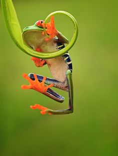 ~~climbing ~ red eyed tree frog by shikhei goh~~ Beautiful Creatures, Animals Beautiful, Cute Animals, Amazing Frog, Awesome, Red Eyed Tree Frog, Funny Frogs, Frog And Toad, Tree Frogs