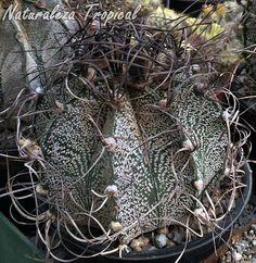 El Cactus Estropajo o Capricornio, Astrophytum capricorne