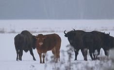 \u0027It\u0027s not unusual to see bison near the Bialowieza Forest, but one animal caught my eye.\u0027