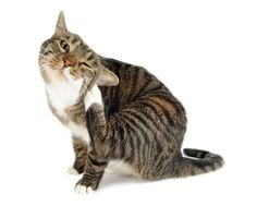 Fleas in cats. They're hard to see on cats but they can cause so much havoc. Even indoor cats can get fleas. This article explains the facts about fleas and flea control. Sphynx, Homemade Flea Spray, Cat Skin Problems, Health Problems, Flea Powder, Flea Spray For Cats, Flea Remedies, Natural Remedies, Gato Gif