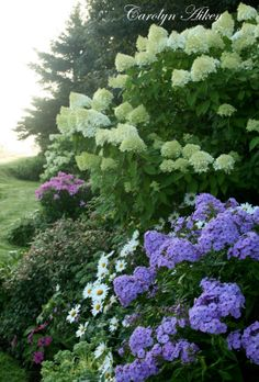 THIS WILL BE FOR THE FRONT FLOWER GARDEN.  Limelights Hydrangea, Phlox, Daisy
