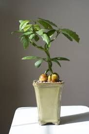 Bildresultat för avocado bonsai
