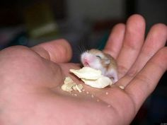 Baby hamster - this brings back memories of when my little brother had hamsters… Baby Animals Pictures, Cute Baby Pictures, Cute Animal Pictures, Cute Baby Animals, Funny Animals, Small Animals, Random Pictures, Animal Babies, Funny Pictures