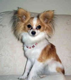 The Papillon can be a quite intelligent and self-assured dog which has a really simple time finding out new tricks.Also named the Continental Toy Spaniel, the Papillon is actually a tiny, fine-boned dog.