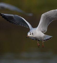 LIGNES HAUTE TENSION :  500 000 oiseaux tués par les câbles / «Les espèces les plus concernées sont les mouettes... En hiver, ces oiseaux font de gros dortoirs: ils se rassemblent pour passer la nuit. L'hypothèse, c'est qu'elles font cela pour échanger des informations, sur les bonnes zones d'alimentation. C'est le soir que le risque de collision avec une ligne à haute tension est le plus fort: la visibilité est moins bonne, et l'oiseau se dépêche pour rejoindre le dortoir.»