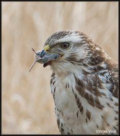 Gepind vanaf vroegevogels.vara.nl - Buizerd