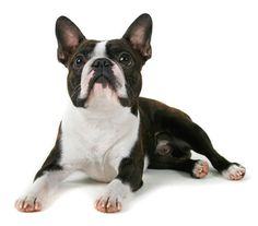 Boston Terrier Dog Lovers: How Well Is Your Boston Terrier Groomed?