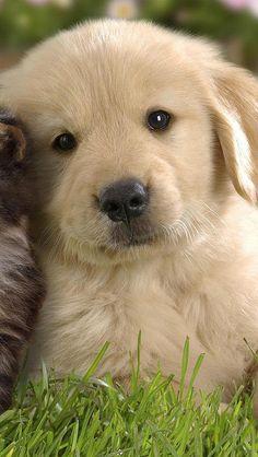 Golden retriever pup...