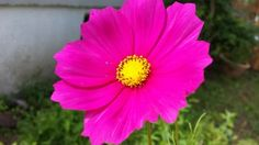 Bright Pink Cosmo by www.rarexoticseeds.com