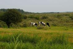 Friese koeien Lauwersoog / Frisian cows
