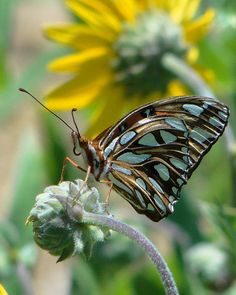 Gulf Fritillary at rest    Blue♥❣❣