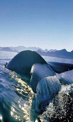 A guide whale watching in Hermanus, Cape Town. Find out more about whale watching in Cape Town and whale watching in Hermanus. Pretoria, Silvester Trip, South African Holidays, Le Cap, Les Continents, Cape Town South Africa, Wale, Out Of Africa, Whale Watching