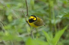 Hooded Warblers are one of my favorite species and it's always exciting when they arrive back in Indiana.