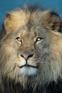 Lion King  (by Josef Gelernter)