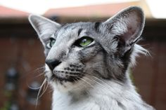 Oriental - Most Affectionate Cat Breeds