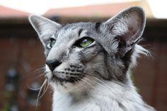Olympian Bronze Grand Premier Mylynn Magnifique, Oriental Cat