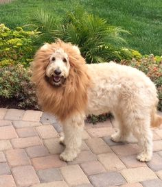 Enzo the Lion Hearted I have the same mane for my goldendoodle