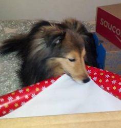 Sheltie helps Mom wrap presents