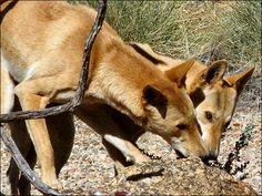 Dingo at the Alice Springs Desert Park...