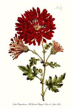 Indian Chrysanthemum Large Red Flower Fine Art Botanical Print 1796