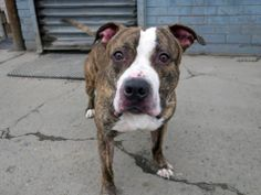 TO BE DESTROYED - 04/05/14 Brooklyn Center - P  My name is BRUNO. My Animal ID # is A0994720. I am a male br brindle and white pit bull mix. The shelter thinks I am about 1 YEAR 5 MONTHS old.  I came in the shelter as a OWNER SUR on 03/23/2014 from NY 11212, owner surrender reason stated was PERS PROB.  https://www.facebook.com/photo.php?fbid=777808575565357&set=a.611290788883804.1073741851.152876678058553&type=3&theater