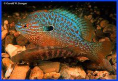 Lepomis humilis - The Orange spotted Sunfish