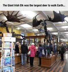 Thranduil's elk was once REAL! O_O