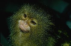 pygmy marmoset - the world's smallest monkey
