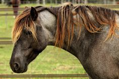♞Pinterest ➝ LimitlessSkyy♘ Horse Mane, Horse Head, Horse Photos, Horse Pictures, Mane N Tail, Horse Breeds, Dressage, Beautiful Horses, Little Pony