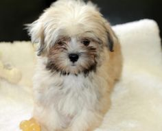 Top 50 Smallest Dog Breed in the World - Cute, Sweet, Lovable