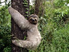 Three+Toed+Sloth+-+Different+Animal+Photos+%25288%2529 Sloth - Uncommon and Totally different South American Mammal