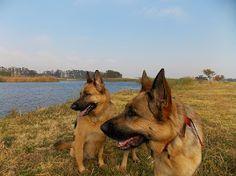 Photo Corgi, Walking, Park, Animals, Corgis, Animales, Animaux, Walks, Parks