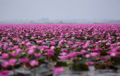 El Lago de Lotos en Tailandia: una secreta galaxia de flores rojas /