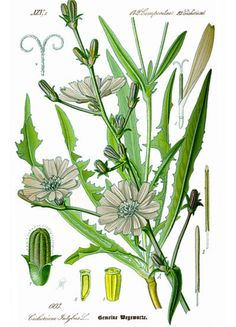 English Chicory (Cichorium intybus) Family Asteraceae