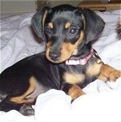 Half Dachshund Half Chihuahua