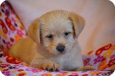 Allentown, VA - Cairn Terrier/Pug Mix. Meet Everly, a puppy for adoption. http://www.adoptapet.com/pet/17619456-allentown-virginia-cairn-terrier-mix