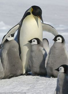 So Sweet ペンギン (jp) Pinguin (de) penguin (en) 펭귄 새 (kr) manchot (fr) pinguino (it) pingvin (se) pinguim (pt)葡 pingüino (es)西 pinguïn (nl)荷 The Animals, Cute Baby Animals, Wild Animals, Penguin Love, Cute Penguins, Penguin Baby, Penguin Craft, Group Of Penguins, Penguin Facts