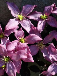 This beautiful clematis is covered for weeks with pretty soft pink flowers, but the bronzed leaves are also lovely, looking good long after the flowers ...