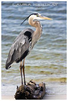 Great Blue Heron at Pensacola Beach