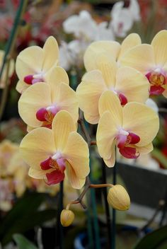 These are so pretty...bought some at the orchid expo in San Francisco once.
