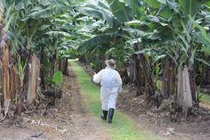 Biosecurity Queensland extends Panama tropical race 4 surveillance to Lakeland banana hub 2016