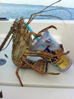 Thirsty lobster